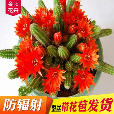 多肉植物仙人掌仙人球 仙人指 白檀办公室桌面防辐射盆栽绿植花卉