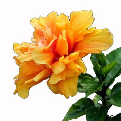 盆栽高档花卉绿植重瓣扶桑花多色朱瑾花3年大苗带根包成活包开花
