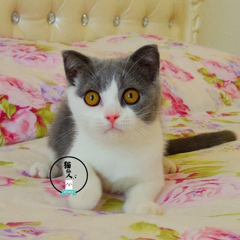蓝白折耳猫苏格兰折耳活体宠物小公猫纯种宠物dd幼猫