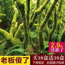苔藓微景观diy材料白发藓苔藓植物雨淋缸水陆缸造景素材盆景装