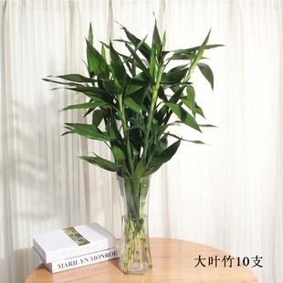 富贵大叶竹植物