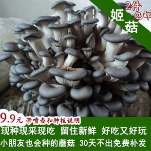包邮姬菇菌种菌包蘑菇菌包小平菇菌种阳台种蘑菇多肉蔬菜种子菌苗