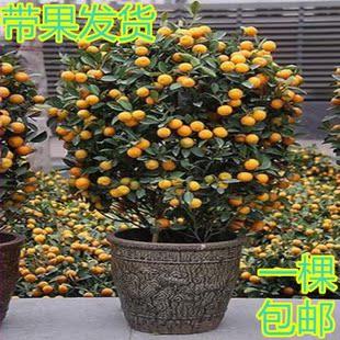 橘子嫁接步骤图片