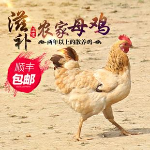 正宗农家散养土鸡2年老母鸡自养草鸡月子走地鸡现杀现发顺丰包邮