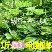 桑叶新鲜包邮蚕宝宝食物新鲜桑叶免运费小蚕爱吃的嫩叶大蚕成熟叶