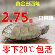 乌龟活体巴西彩龟苗红耳龟情侣龟宠物龟招财龟水龟黄金龟特价包邮