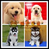 金毛幼犬拉布拉多幼犬蓝眼三把火哈士奇幼犬阿拉斯加雪橇犬活体狗