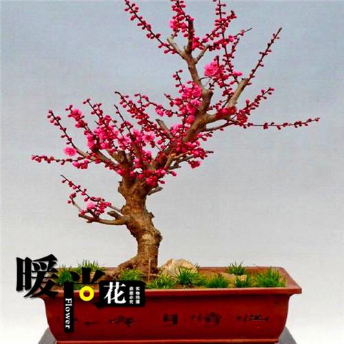 梅花盆栽盆景包邮室内庭院耐寒观花植物腊梅红梅绿梅