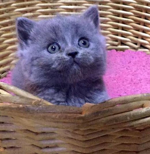 m天猫猫舍英国短毛宠物猫活体纯种英短蓝猫小猫公猫