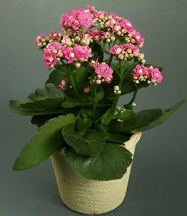 长寿花苗盆栽绿植植物办公室桌面花卉绿植防辐射净化空气室内植物