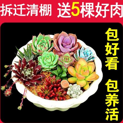1元 抢购 多肉植物 多肉室内盆栽绿植花卉组合办公室包邮传奇园艺