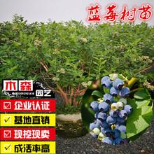 蓝莓树苗蓝莓苗南北方种植果树苗盆栽地栽蓝梅苗室内外高矮丛阳台