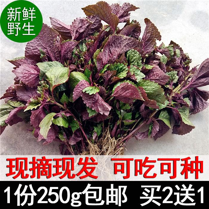 新鲜野生苏子叶 现摘现发天然紫苏叶 紫苏苗盆栽去腥烧鱼虾蟹香料