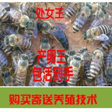 优质中蜂种蜂双色王中蜂活体产卵新蜂王蜂王活体处女王中蜂王杂交