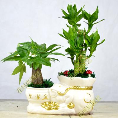 天发财树盆栽富贵竹室内办公室小盆景花卉盆栽绿植物
