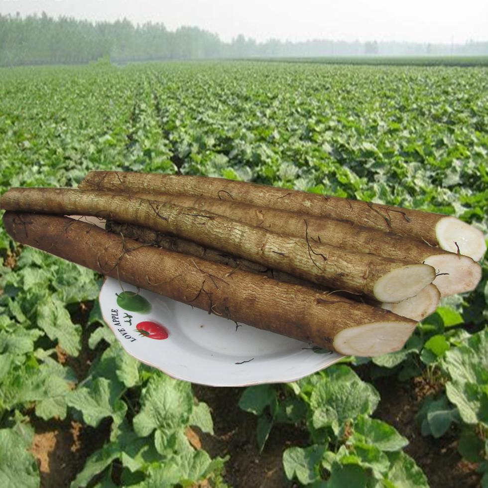 徐州益顺康 新鲜牛蒡根一级净重5斤装2016年蔬菜 两年生正品整箱