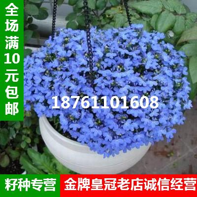 四季盆栽花卉种子 翠蝶花种子 六倍利 吊兰类植物花卉半边莲