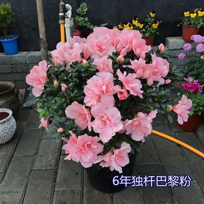年宵花卉比利时杜娟 西洋杜鹃映山红原盆原土带花发货 2盆包邮