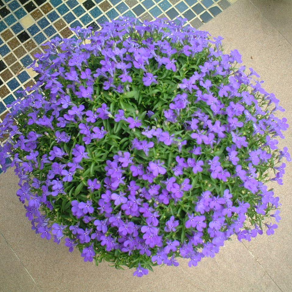 花种子_阳台垂吊盆栽花卉盆栽 六倍利 半边莲/翠蝶花种子蓝色
