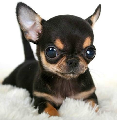 纯种墨西哥苹果头小型茶杯 袖珍犬 吉娃娃幼犬 吉娃娃犬 宠物狗狗