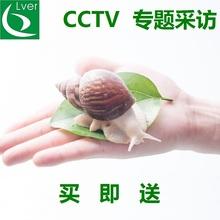 白玉蜗牛养殖基地 观赏大蜗牛活体 美容蜗牛 宠物蜗牛 教学蜗牛